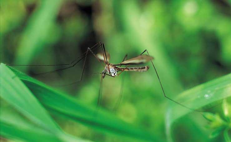 8 elképesztő dolog, amit nem tudtál a szúnyogokról!